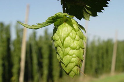 photo-culture-houblon.jpg